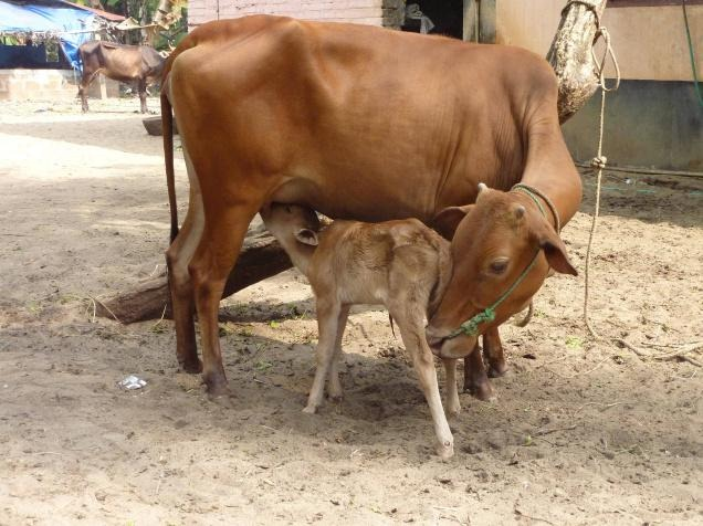 Indian-Cow-calf
