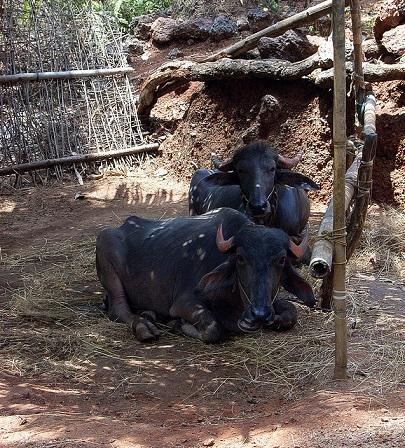 indian-buffalo