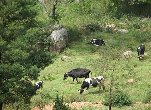Cows-pasture