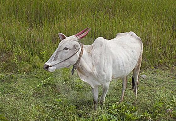 brahma-cow-india