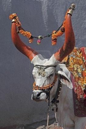 decorated-bull